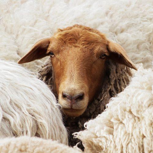 Schafwolldämmung